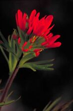 Castilleja coccinea | Scarlet Indian Paintbrush | 500_Seeds FREE SHIPPING TO US