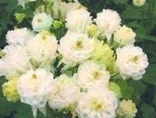 Aquilegia - Winky Double White & White - 10 Seeds