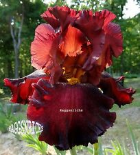 "Tall Bearded ""Battle Royal"" Iris - Bright Cherry Red Bomb! '94 * Perennial Sale"