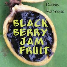 ~BLACKBERRY JAM FRUIT~ Randia formosa Jasmin de Rosa Marmeladenfrucht 10+ Seeds