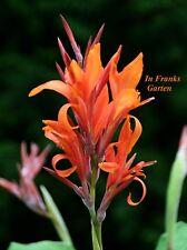 CANNA Prinzessin vom Rhein @ Indisches Blumenrohr @indica@ Kübelpflanze@ 5 Samen