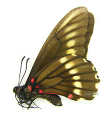 Unmounted Butterfly/Papilionidae - Mimoides microdamas, male, RARE!, Bolivia