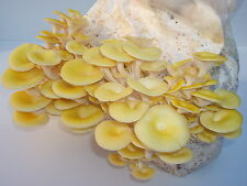 Bio Limonenpilz, Pilzzucht Fertigkultur - Pilze züchten mit Qualitätsgarantie,