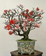 Japanese Quince frutti commestibili! BONSAI semi Hardy facili da coltivare arbusto/Albero