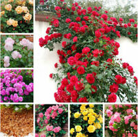 100Pcs Seeds Climbing Rose Flowers Rare Rosa Beautiful Colors in Home Garden
