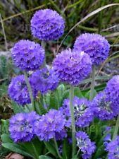 Primula Denticulata Lilac Plug Plants x 8 hardy perennial plant now