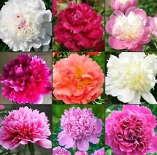 MIXED PEONY COLLECTION - 3 Large Tubers - HARDY PERENNIAL DOUBLE FLOWER PLANTS