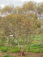 Eucalyptus eremicola ssp peeneri (Gum Tree) in 50mm forestry tube native plant