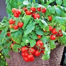 """30+Tiny Tim Dwarf Patio Tomato Seeds 16""""Plant Hanging Baskets Containers/Garden"""