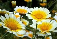 GARLAND DAISY FLOWERS 100 FRESH SEEDS FREE USA SHIPPING