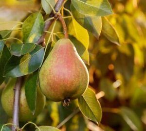 20 Moonglow, Bartlett & Bosc Pear Live Cuttings + Propagation Guide