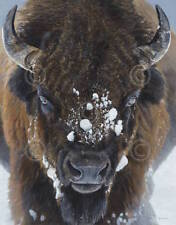 Winter Warrior Terry Isaac Buffalo Bison Wildlife Print Poster 22x28