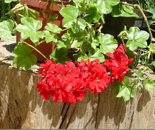 12 Semillas Pelargonium spp (Geranio Híbrido Rojo) Código 555