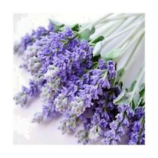 Herb lavender Lavandula officinalis. seeds long-term  from Ukraine