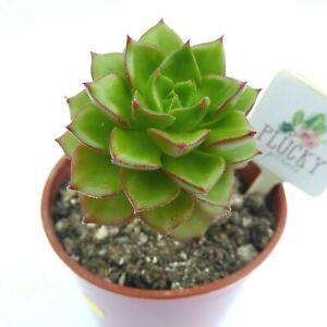 Sedeveria Letizia Succulent House Plant Sedum x Echeveria Evergreen Indoor