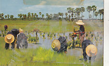 BF28031 farmers root out young rice plants thailand binding th  front/back image