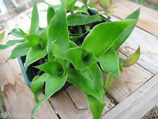 Callisia Fragrans 2 plants - Home Apteka  / Золотой Ус/ Spider Plant