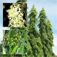 Polyalthia longifolia 20 Seeds, The Mast Tree  for planting from thailand