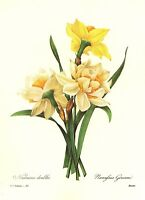 Vintage Narcissus Botanical Print Redoute Yellow Flower Art Daffodil pjr 3347-82