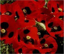 6 LADYBIRD POPPIES MEDIUM PLUG PLANTS - HARDY ANNUAL