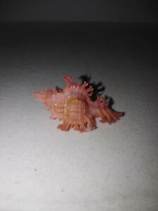 Pink Murex triplex chicoreus 37mm. Sea shells. Collectors #1