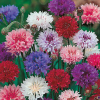 Cornflower - Crown Double Strain Mixed - 150 Seeds