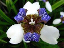 3 x Healthy Walking Stick Iris Plants Neomarica Gracilis Purple White Flower