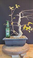 Bonsai Tree Malus bacatta Crab apple quality stock