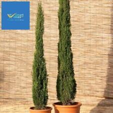 2 Mediterranean Italian Cypress Trees Plant Tall Pair Pot Garden Evergreen 100cm