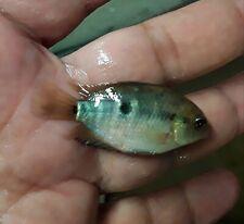 """7 FISH PACK RAINBOW CICHLID 1"""""""
