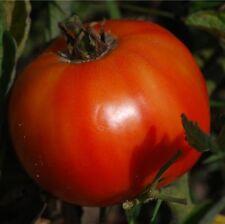 Delicious Tomate - 10+ Samen - WELTREKORD