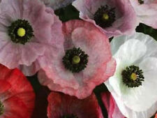 """3600g """"Double Shirley"""" Poppy Seed Mix 24000 ct ~Garden Flower Variety of Colors"""