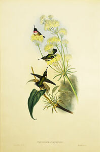 A3 John Gould Native birds flower art print painting Vintage Old Australia