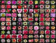 "New listing New Adenium Obesum Desert Rose ""Mixed Of Type""1000 Seeds Fresh"