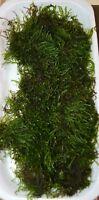 10g - 250g JAVA MOSS live plant breeding carpet aquarium tropical fish tank fry