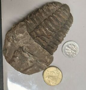 450 Million year old Ordovician Age TRILOBITE Fossil From Morocco (#U429)