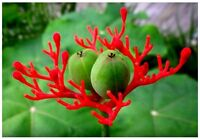 10 SEEDS JATROPHA PODAGRICA VERY RARE BUDDHA BELLY SUCCULENT PLANT FRESH VIABLE