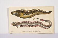 BLOCH Poissons Vivipares Blenny Antique Fish Print 1805 Gravure coloriée Linné