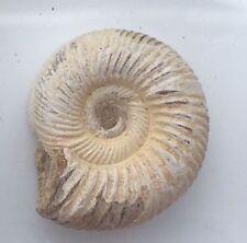 10 x Mini Perisphinctes Jurassic Fossil Ammonites, Party bag gifts from 10mm