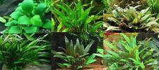 also + Cryptocoryne lot de 4 tufts has roots plant aquarium easy discus