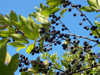 Carolina laurelcherry   Prunus caroliniana    10 plants