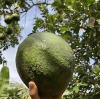'Marcus Pumpkin' has very high cold tolerance avocado- 2 seeds
