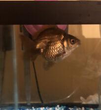 Live Goldfish Bronze Ruykin ! Free Shipping