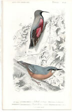 1849 Original Birds Print SITTA EUROPEA pl.16, By ch. Orbigny, atlas volume 1