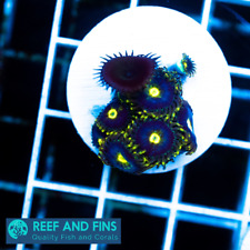 Live Rnf Midnight Rhino Zoanthid Lps Coral Frag (Saltwater) Rare