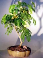 "Brazilian Raintree Flowering Indoor Bonsai (pithecellobium tortum) 11 yr 11-12""T"