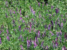 HAIRY VETCH SEEDS * NITROGEN FIXER * COVER CROP * COMPANION PLANT TO TOMATOES