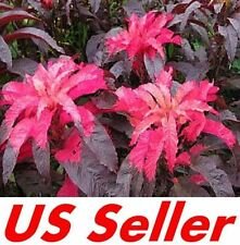 150 Pcs Seeds Amaranthus Hypochondriacus G59, Early Splender Stunning Colors