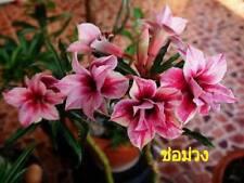 "ADENIUM OBESUM DESERT ROSE ""CHOR-MUENG"" X 2 PLANT(GRAFTED) FRESH"