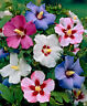 100Pcs Hibiscus Flower Seeds 20 Colors Beautiful Plant Decoration in Home Garden